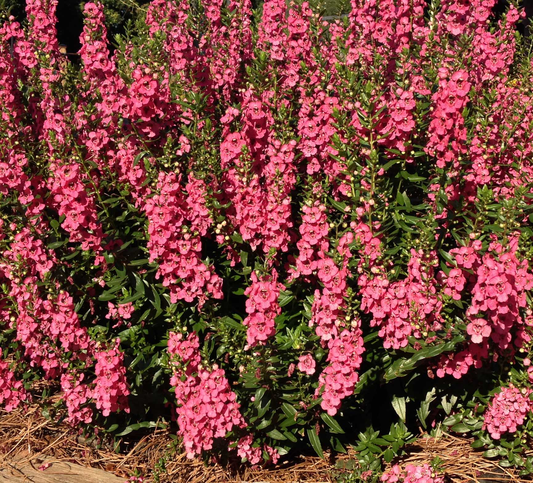"""This angelonia stood out amongst the others. It started out early by outblooming its competitors and has remained strong through the hottest temperatures. The plants are compact and sturdy."""